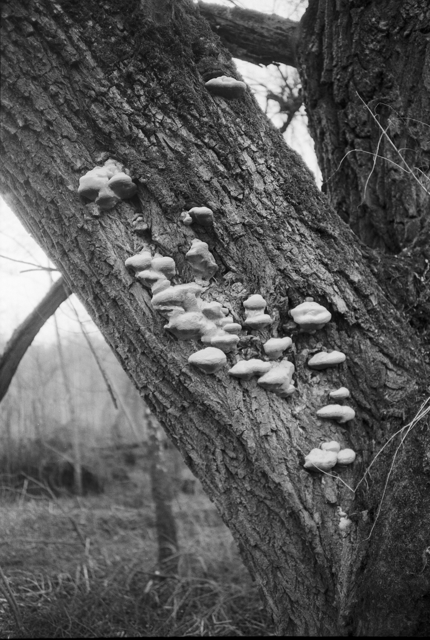 #072 Polypores on the tree, Graz