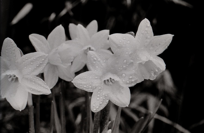 #092 Narcissus