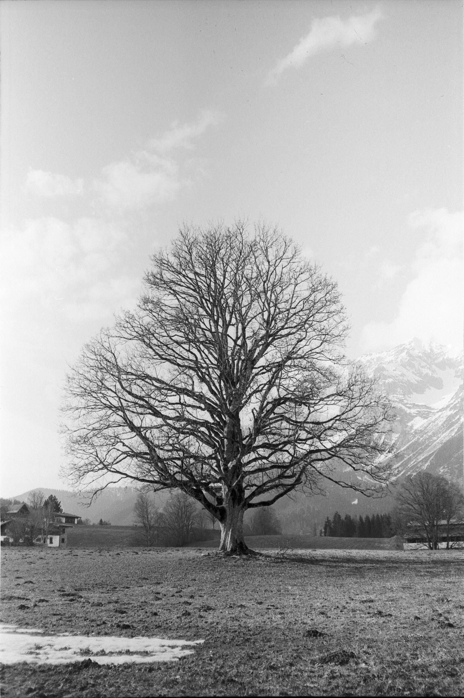 #099 Oak, Ramsau am Dachstein
