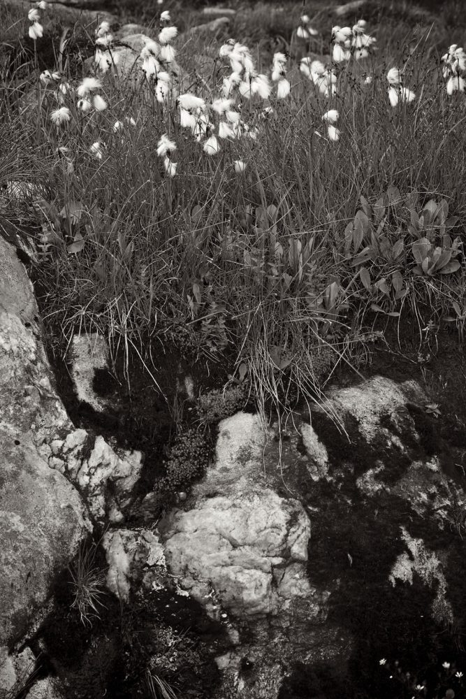 Cotton grass and Rock - Baumwoll Gras und Felsen