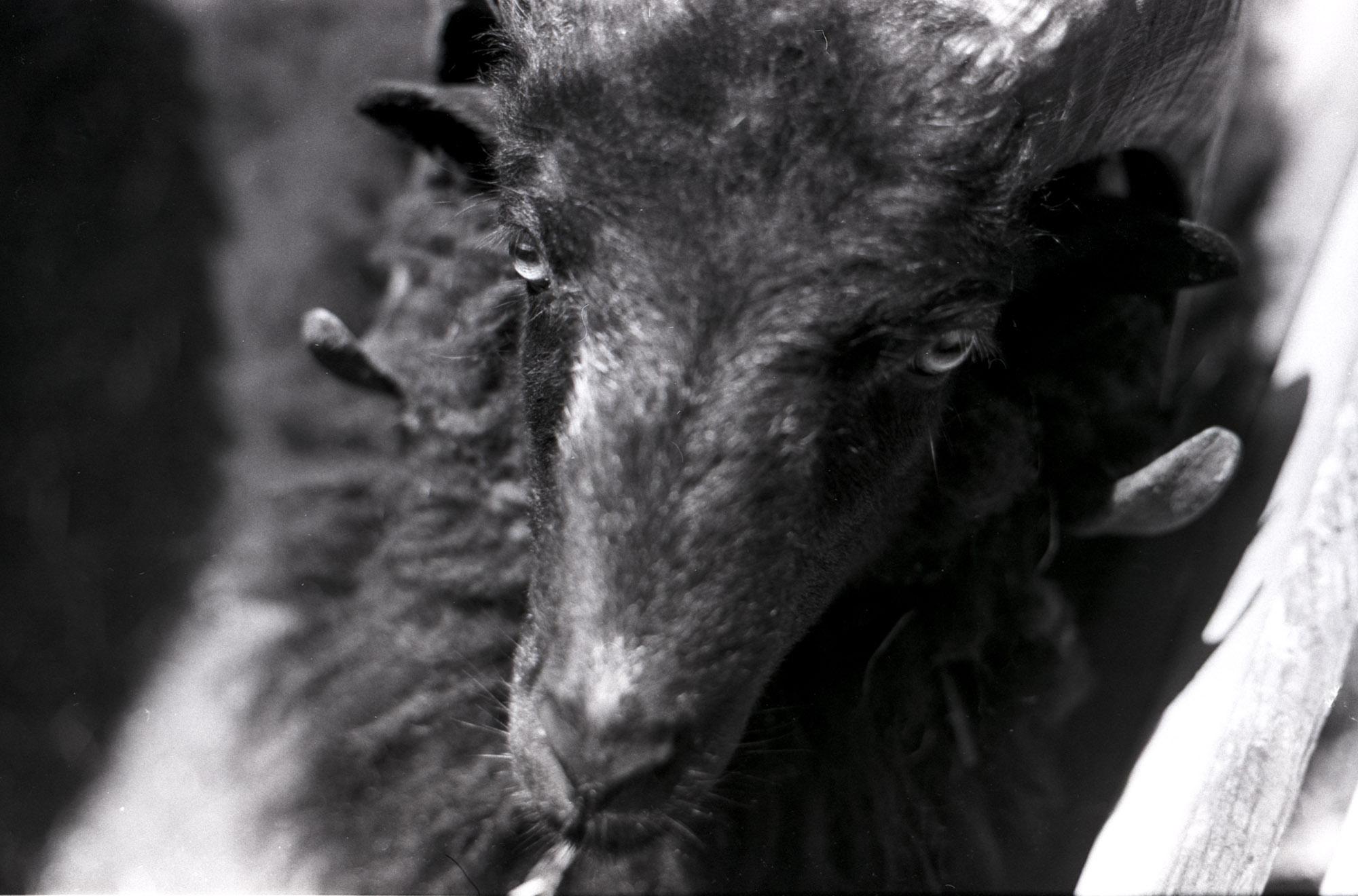 Black sheep - Canon EOS 600 Kodak Tri-X 400TX #23