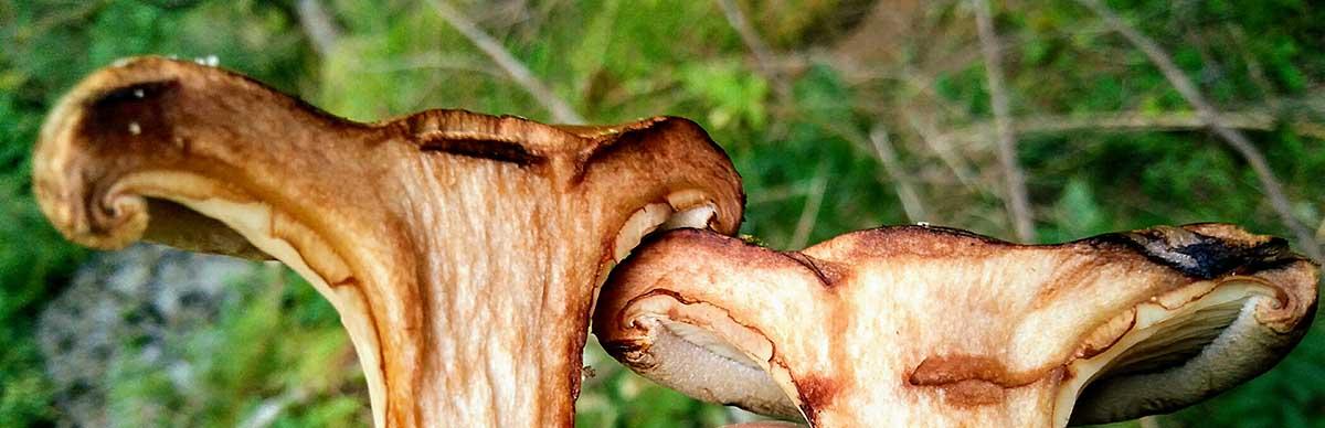 Brown roll-rim / Paxillus involutus