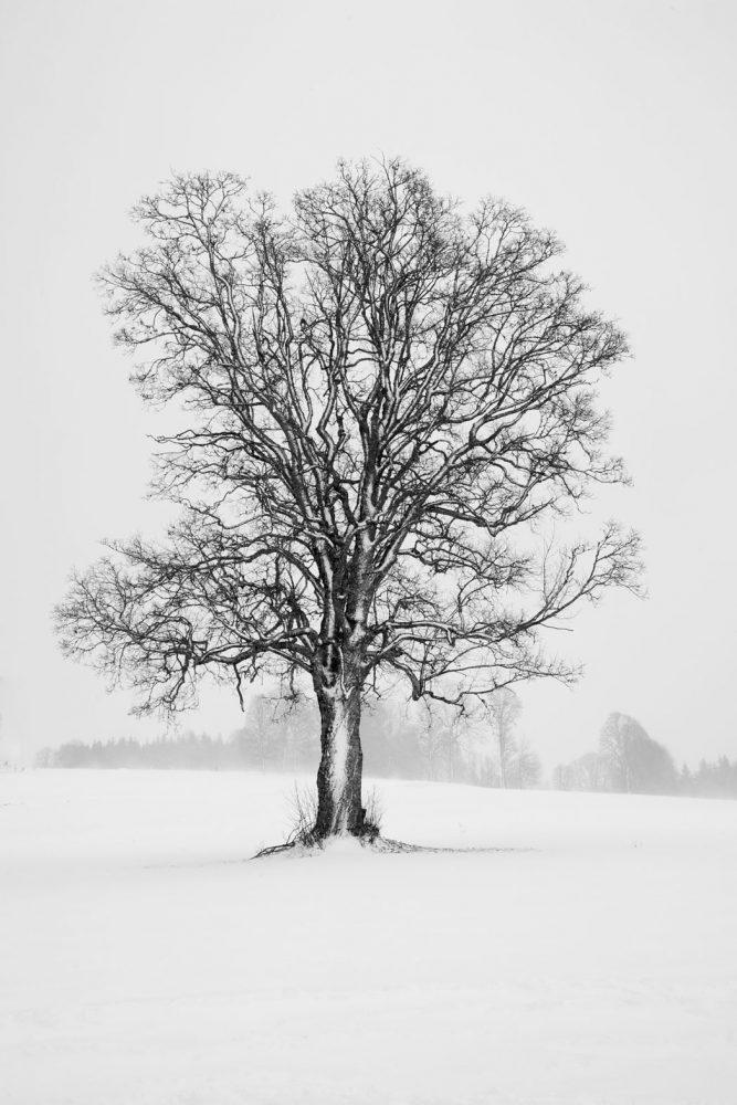 Vorberg Tree #1