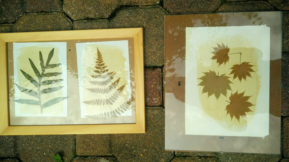 Photograms sitting in the sun - Dandelion Emulsion for Anthotype